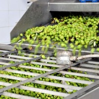 olive-frantoio