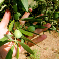 olive-manfredi