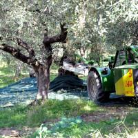 raccolta-olive-manfredi