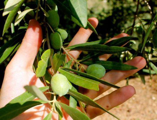 Olio extravergine di oliva calorie