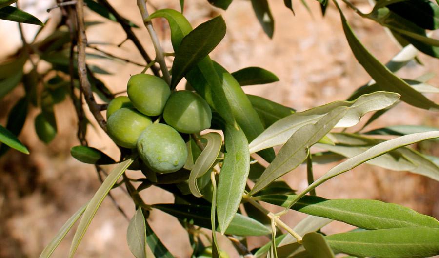 Oliva Carolea – Cultivar tipica della Calabria